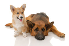 Two dogs Royalty Free Stock Photography