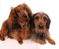 Two dogs. Jointly on a white background Royalty Free Stock Photos