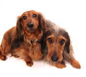 Two dogs. Jointly on a white background Stock Photography