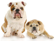 Two dogs. Two english bulldogs with reflection on white background Stock Photos