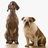 Two dogs. English Bulldog and German Shorthaired Pointer sitting Stock Image