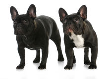 Two dogs. French bulldog litter mates standing on white background royalty free stock images