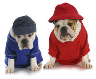 Two dogs. English bulldogs wearing red and blue stock images