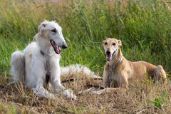 Two dogs. In field on grass Royalty Free Stock Photography