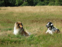 Two dogs. Rough Collie and Great Dane relaxing in a meadow together Stock Images