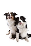 Two dogs. Two sheep dogs sitting side by side on white background Royalty Free Stock Images