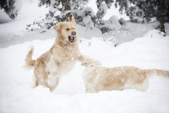 Two dogs. Two Golden Retrievers fighting in the snow Stock Images