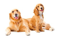 Two Dogs. A golden retriever and cocker spaniel puppy in the studio stock photos