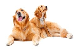 Two Dogs. A golden retriever and cocker spaniel puppy in the studio royalty free stock photo