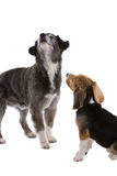 Two dogs. Two cute dogs standing side by side looking up Royalty Free Stock Photos