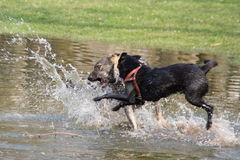 Two dogs. Fighting and playing in water Royalty Free Stock Image