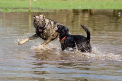 Two dogs. Fighting and playing in water Stock Images