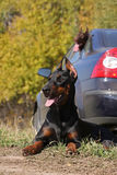 Two dogs above car Royalty Free Stock Photography