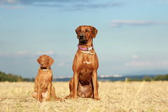 Two dogs adult and puppy. Rhodesian ridgeback dog adult and puppy Royalty Free Stock Photography
