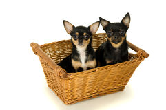 Two dogs adults sit in a basket Royalty Free Stock Images