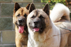Two dogs Akita inu together looking to one side closeup Stock Photography