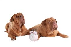 Two dogs  and an alarm clock Royalty Free Stock Photography