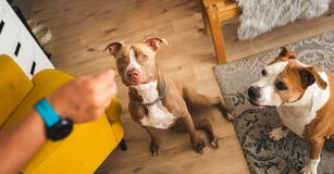 Two dogs amstaff terriers sitting indoors and looking up at owners hand holding treat