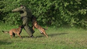 Two dogs are attacking a man. Two dogs are attacking and biting figurant stock footage