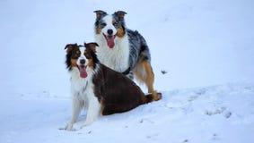 Two dogs Australian shepherd Stock Images