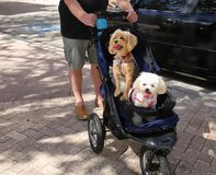 Two dogs in a baby buggy. Two happy dogs, a white Maltese and a Yorkshire Terrier enjoying a stroller ride in the park Royalty Free Stock Photos