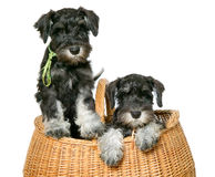 Two dogs in bag Royalty Free Stock Photo