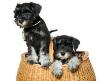 Two dogs in bag Stock Photo
