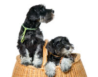 Two dogs in bag Royalty Free Stock Photos