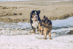 Two dogs on the Baltic sea. 2017 stock photo