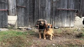 Two dogs barking in the front of wooden door. Two dogs barking in the garden stock video footage