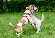 Two dogs barking and threaten each other with open mouth Royalty Free Stock Photography