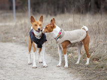 Two dogs basenji walk in the park. Spring day. At the dog wearing vest Stock Photos
