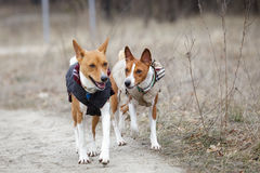 Two dogs basenji walk in the park. Spring day. At the dog wearing vest Royalty Free Stock Image