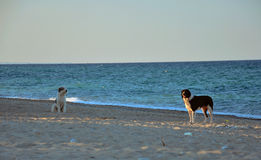 Two dogs at the beach Royalty Free Stock Image