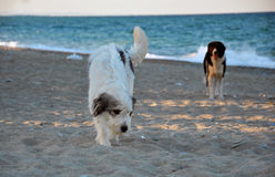 Two dogs at the beach Royalty Free Stock Images
