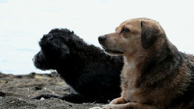 Two dogs at the beach. Tired mixed-breed dogs at the beach stock footage