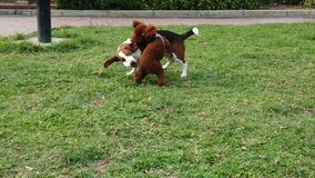 Two dogs Beagle Poodle playing