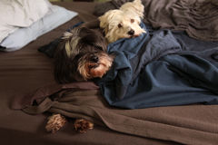Two dogs in bed. Two dogs sleep on the bed stock photography