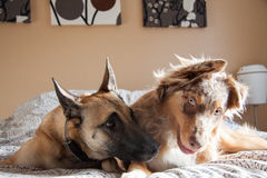 Two dogs in the bedroom. Royalty Free Stock Images