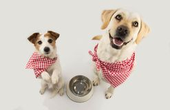 TWO DOGS BEGGING FOOD. LABRADOR AND JACK RUSSELL WAITING FOR EAT WITH A EMPTY BOWL. SITTING ON TWO LEGS. DRESSED WITH RED royalty free stock photos