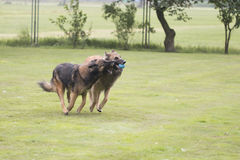 Two dogs, Belgian Shepherd Tervuren, playing with ball Stock Photography
