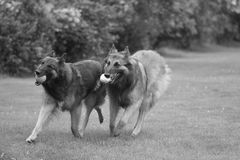 Two dogs, Belgian Shepherd Tervuren, running, black and white Stock Image
