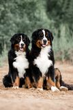 Two dogs Bernese Mountain Dog in nature stock image