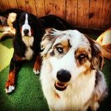 Two dogs berniese mountain dog Australian shepard Stock Photo