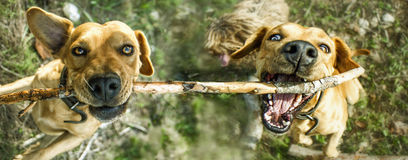 Two dogs biting branch. Overhead view of two dogs jumping up and biting tree branch Royalty Free Stock Photography