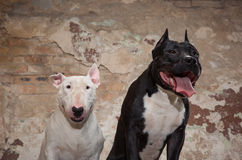 Two dogs: black american pit bull and white bull terier seatting over scraped wall background Royalty Free Stock Photos