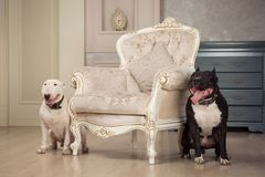 Two dogs. Black pit bull or staphorshire terrier and white bulterrier are in the vintage interior. Dogs sitting on both sides of t. Two dogs. Black pit bull or Stock Photo