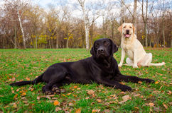 Two dogs. Black and white labrador retrievers in the park Royalty Free Stock Photos