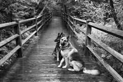 Two Dogs on Boardwalk at Tahquamenon Falls. My dogs, Otto & Iggi, on the boardwalk at Tahquamenon Falls State Park, waiting patiently to continue on their walk Stock Images