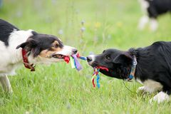 Two dogs playing with rope toy. Two dogs border collie playing with rope toy in summer royalty free stock image
